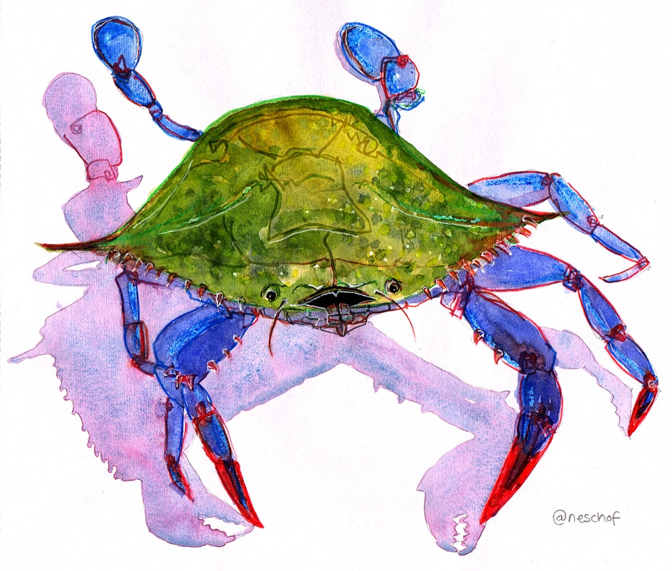 Blue crab illustration