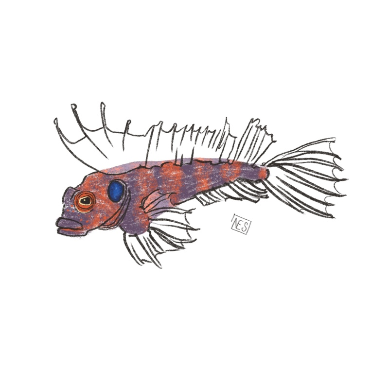 Quillfin Blenny illustration